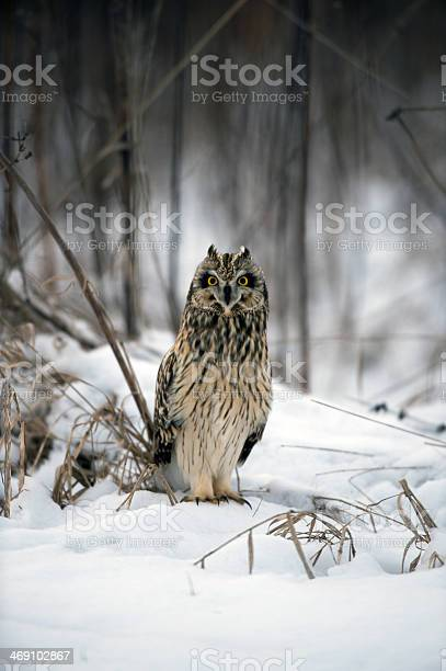 Short eared owl picture id469102867?b=1&k=6&m=469102867&s=612x612&h=cyuwlbdejaavzwo8kiv8s5czmajqt6pxmr9j8egxah0=