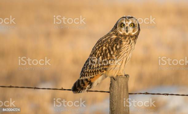 Short eared owl picture id842004224?b=1&k=6&m=842004224&s=612x612&h=tz16da7kfpbfe qxq d5j ilqfj8swu6j8kloatih2i=