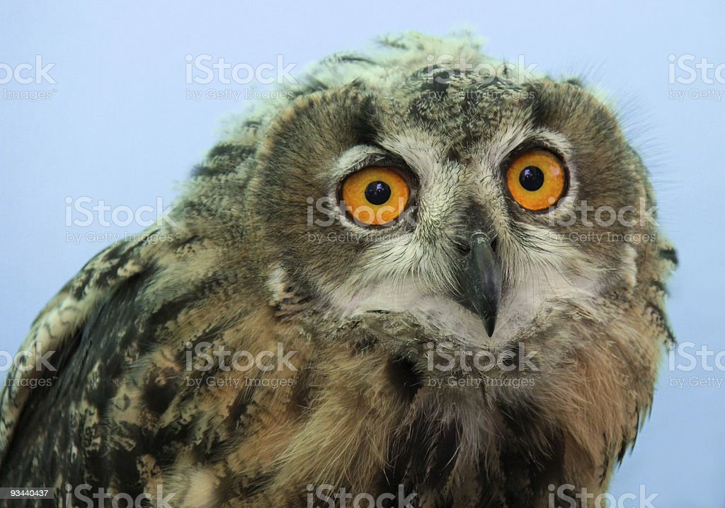 Kurze Eared Owl Lizenzfreies stock-foto
