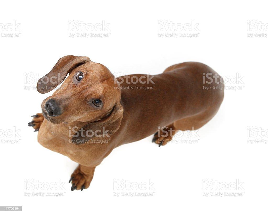short haired badger dog royalty-free stock photo