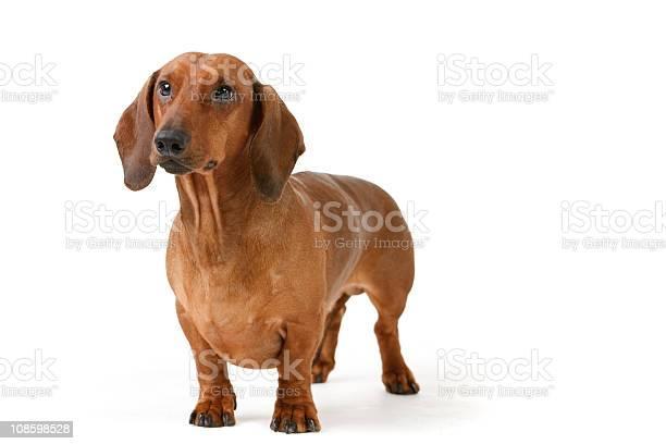 Short haired badgerdog picture id108598528?b=1&k=6&m=108598528&s=612x612&h=gsaikf 1ur29lreczwhn7b6qln1nmzjt3cfxolrqe9o=