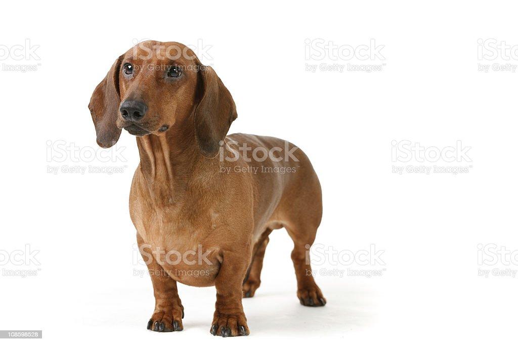 short haired badger-dog stock photo