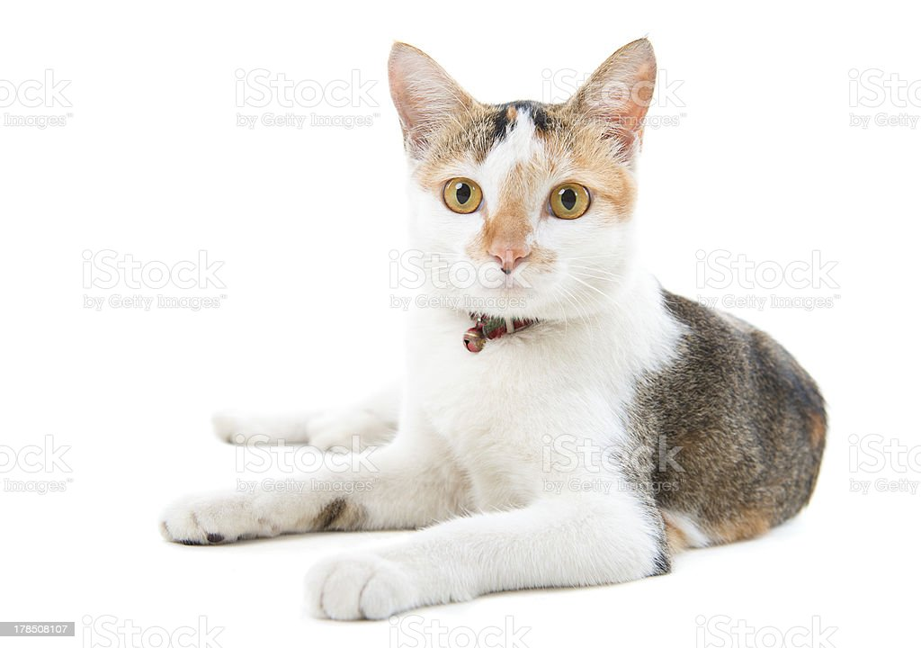 short haired cat royalty-free stock photo