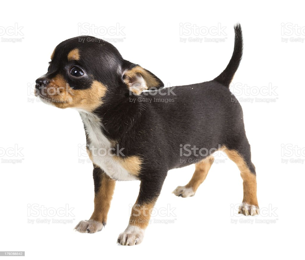 short haired chihuahua puppy in front of a white background royalty-free stock photo