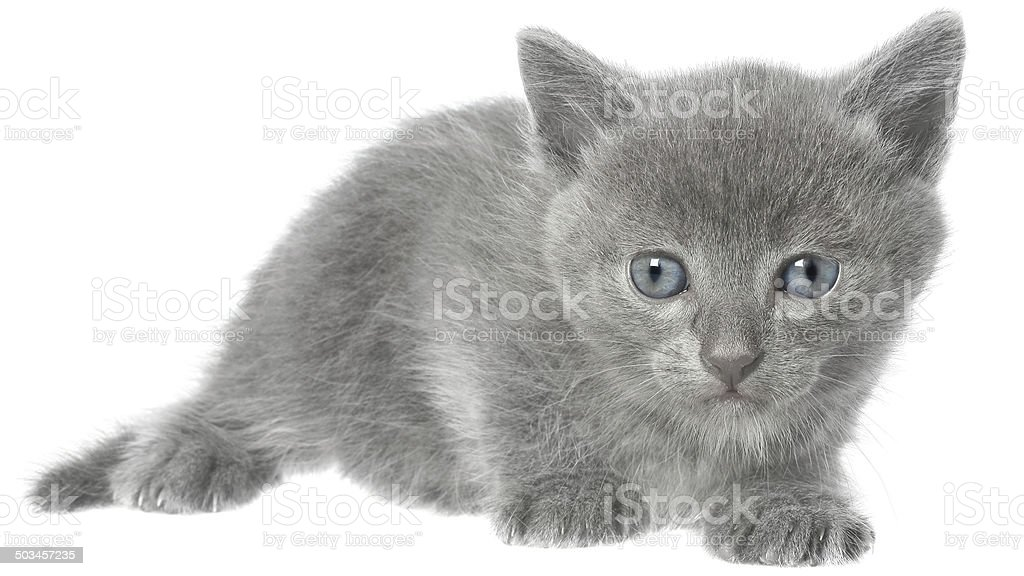 Short haired small kitten stock photo
