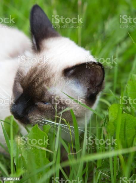짧은 머리 영 고양이 포인트 컬러는 녹색 잔디를 씹는 다 인감 고양잇과에 대한 스톡 사진 및 기타 이미지