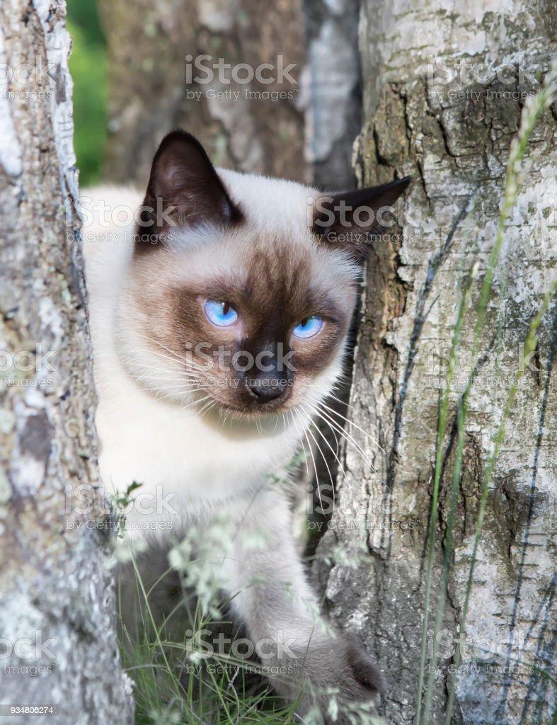 짧은 머리 젊은 고양이, 물개는 자작나무에 파란 눈을 가진 색상 포인트 - 로열티 프리 고양이 새끼 스톡 사진