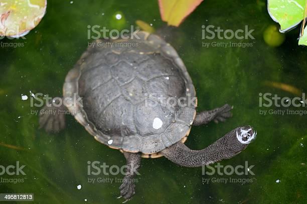 Short neck turtle picture id495812813?b=1&k=6&m=495812813&s=612x612&h=aww0ymgmfez91xpih3kxi94cqoez xhkkrge25cnbxi=