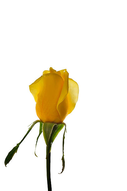 Short Stemed Yellow Rose isolated on white stock photo
