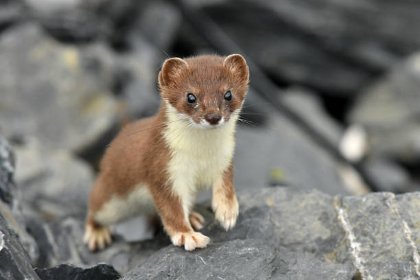 Short tailed Weasel - Ermine stock photo