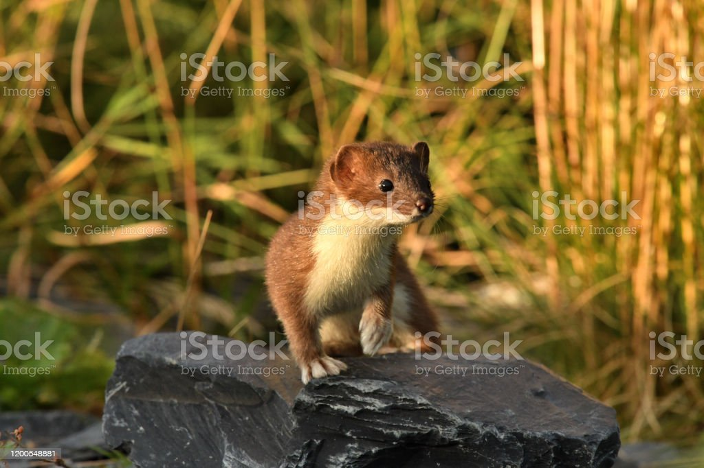 Short tailed Weasel - Ermine an Ermine is curious on Kodiak Island Alaska Alaska - US State Stock Photo