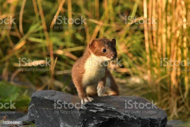 Short Tailed Weasel Ermine Stock Photo - Download Image Now