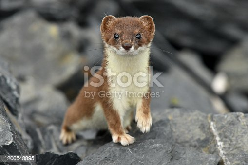an Ermine is curious on Kodiak Island Alaska