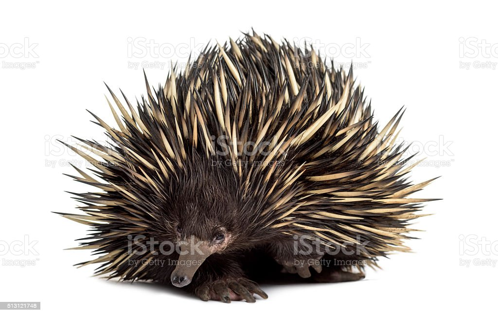 Short-beaked echidna isolated on white stock photo