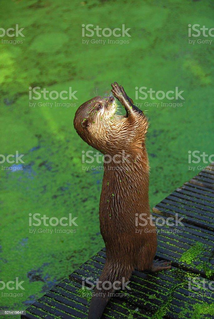 Short-clawed Otter standing tiptoe stock photo
