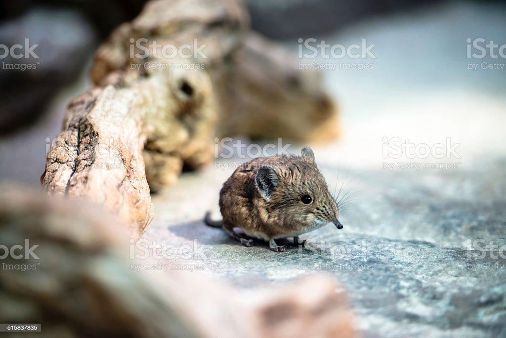 Short-eared elephant-shrew stock photo