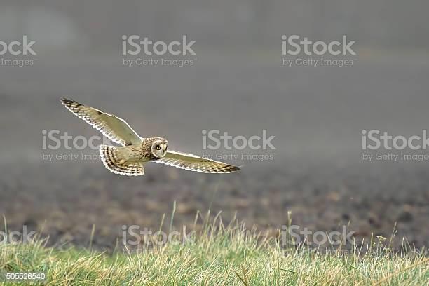 Shorteared owl asio flammeus flying picture id505526540?b=1&k=6&m=505526540&s=612x612&h=ul4d7cyjaqrhr3wn7dyuecb3pakxwkrimr8677s3r e=