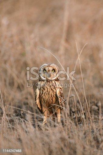 Short-eared Owl at Uran,Mumbai,Maharshtra,India