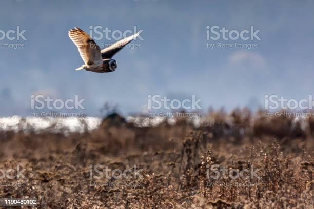 Shorteared owl flying above boundary bay beach delta bc canada picture id1190480102?b=1&k=6&m=1190480102&s=612x612&h=dgrrhozs m7kajcshdmy iu8vt1xpz4hug1qjwhjvjw=