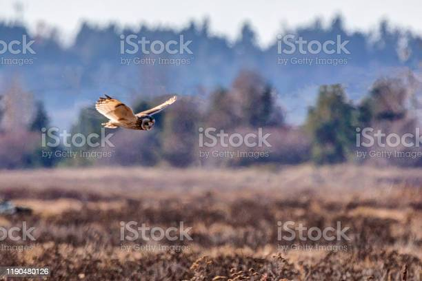 Shorteared owl flying above boundary bay beach delta bc canada picture id1190480126?b=1&k=6&m=1190480126&s=612x612&h=s3wfih5dy4suc 5y7xgwfmljknytf0m0ajjaxcvjp4i=