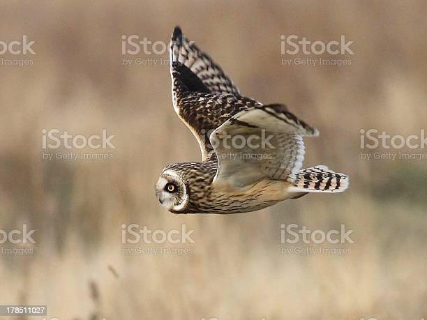 Shorteared owl hunting picture id178511027?b=1&k=6&m=178511027&s=612x612&h=lqewwskocc1qkt6hm8rxbvy2roormjm4zd9sitr3 pe=