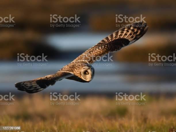Shorteared owl in flight picture id1227261056?b=1&k=6&m=1227261056&s=612x612&h=rqwhsgryqg8e8i6lmkho6qkvynkcvx8r8wkwp f05b4=