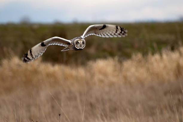 Shorteared owl in flight picture id160578802?b=1&k=6&m=160578802&s=612x612&w=0&h=xi8ctzuhcb8kjwwberwjqsaqphie jaegg4zhqo4xqc=