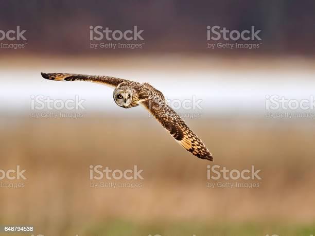Shorteared owl in flight picture id646794538?b=1&k=6&m=646794538&s=612x612&h=x 9hqixl5hvhyup4bbzzvlxzxzbv0fwtcbmxhwverhq=