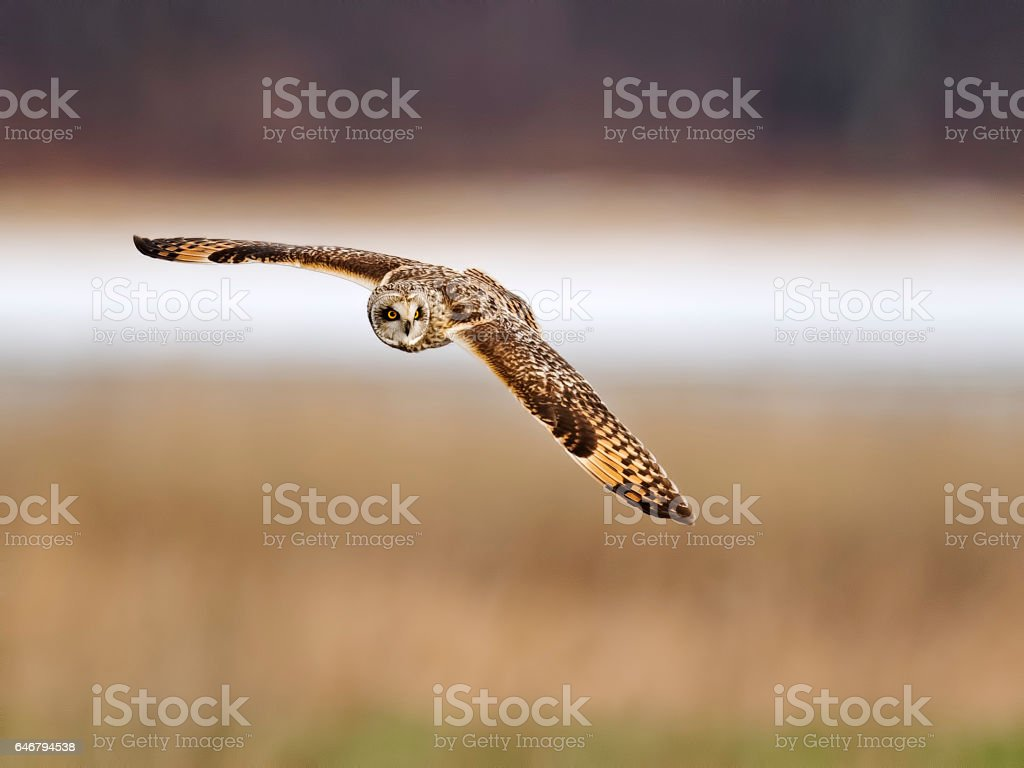 Short-eared Owl in Flight stock photo