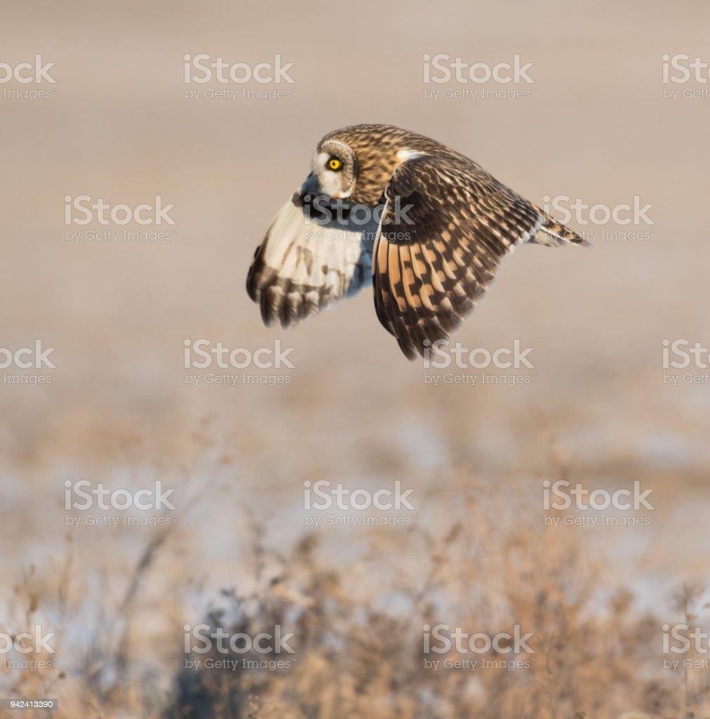 Short-eared owl in flight stock photo