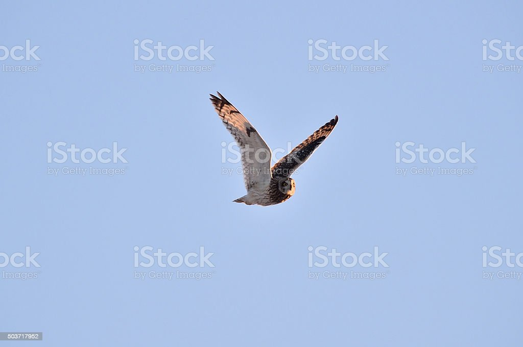 Short-eared owl in Hokkaido stock photo