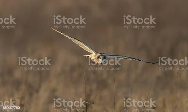 Shorteared owl picture id630007750?b=1&k=6&m=630007750&s=612x612&h=j25dfntnn938svof0gvstn734hhgzgp4ihuc8pmkvpm=