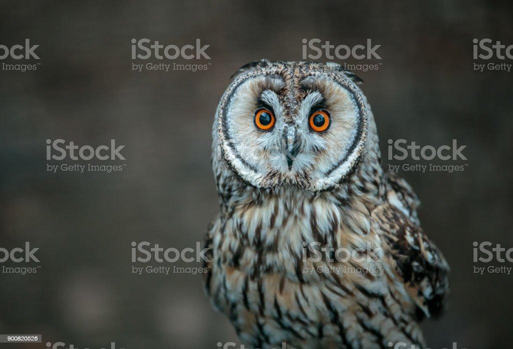 A Short-eared Owl stock photo