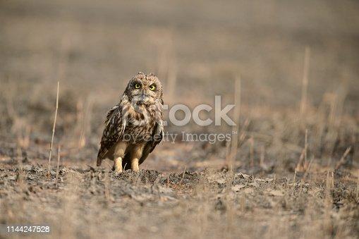 Short-eared Owl roosting on ground at Uran,Mumbai,Maharshtra,India