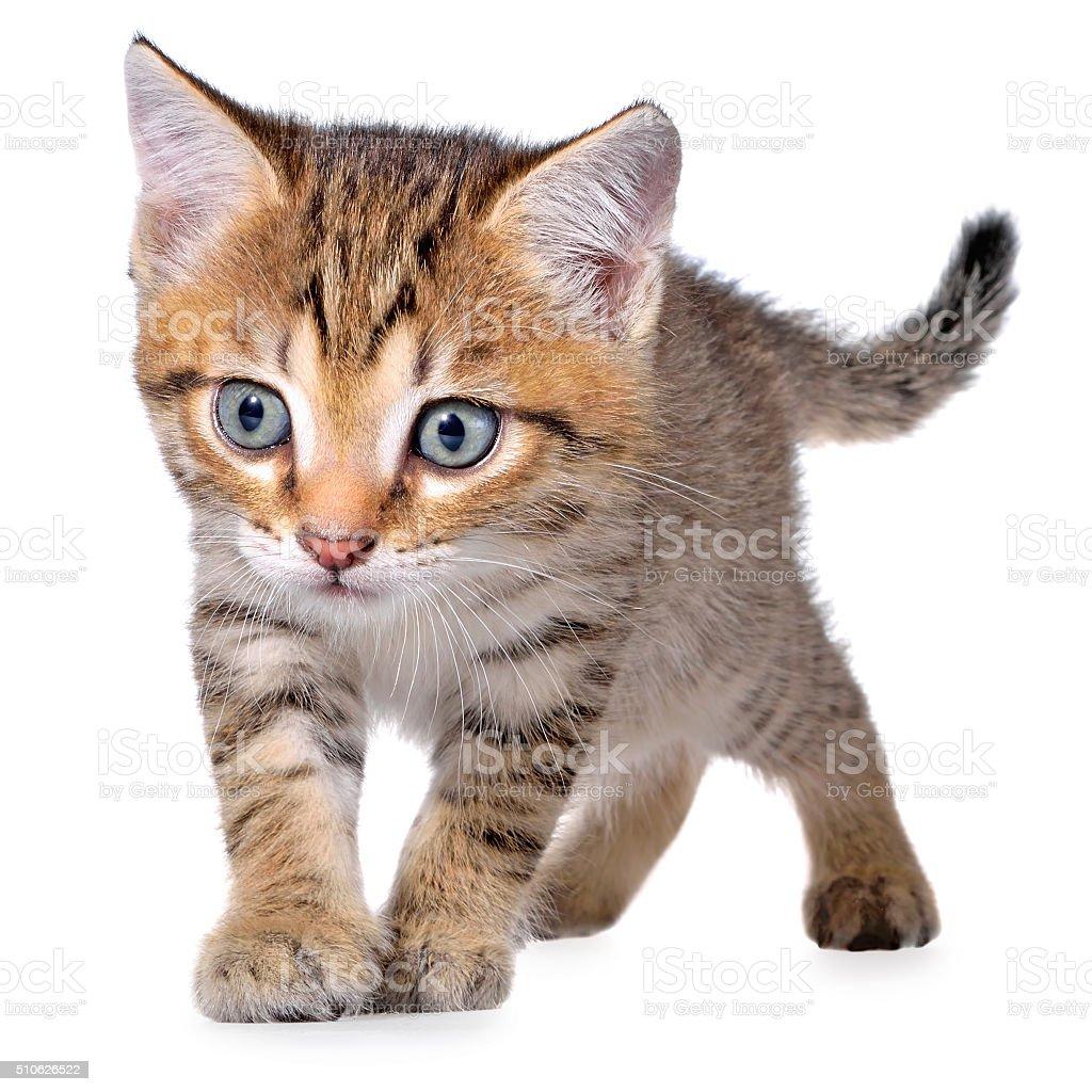 Shorthair brindled kitten crawling sneaking stock photo