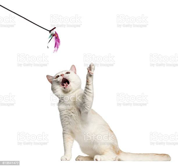 Shorthair cat playing with a stick toy isolated on white picture id613541472?b=1&k=6&m=613541472&s=612x612&h=mo9h 5o4s8mhiwaevw81onkdfxaaoy 7uy1tnknwmo4=