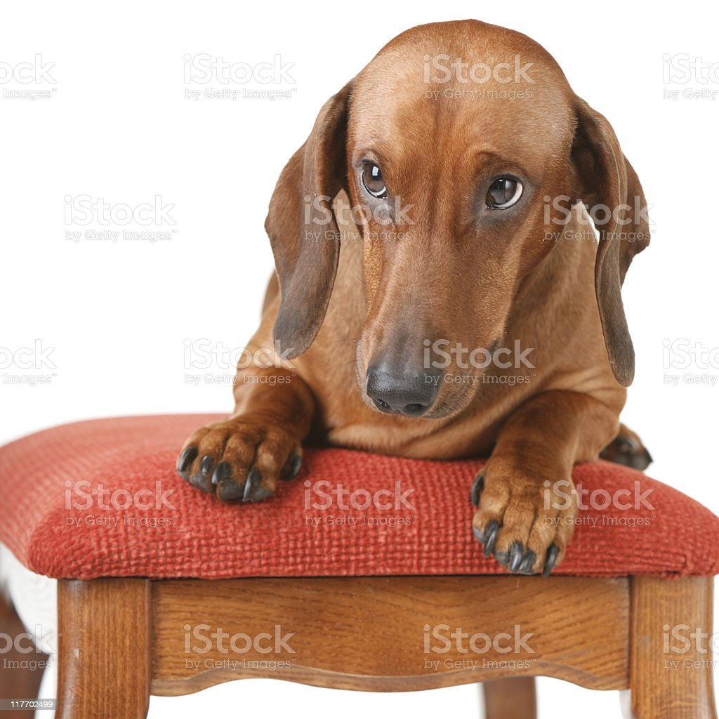 short-haired badger dog sitting on the pillow royalty-free stock photo