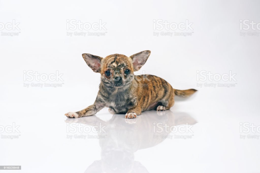 Short-haired brindle Chihuahua dog lying indoors on a white background stock photo