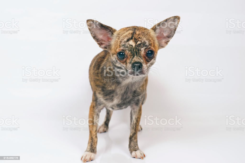 Short-haired brindle Chihuahua dog staying indoors on a white background stock photo