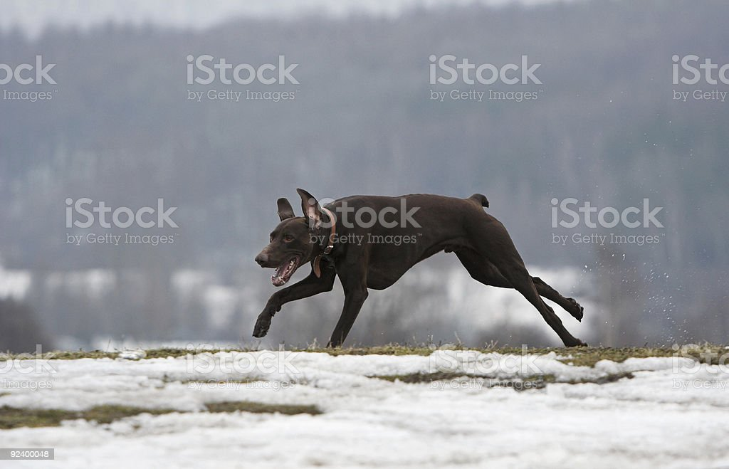 Shorthaired german pointer royalty-free stock photo