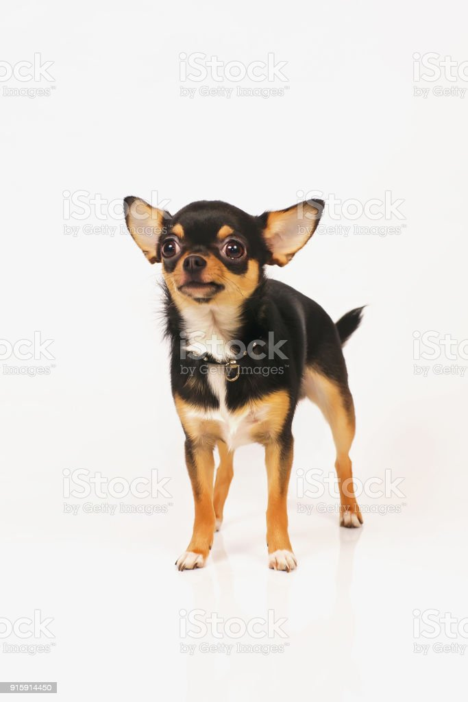 Short-haired tricolor Chihuahua dog with a collar staying indoors on a white background stock photo