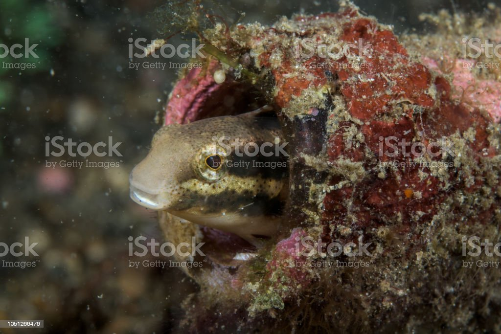 shorthead fangblenny fish in a glass bottle stock photo