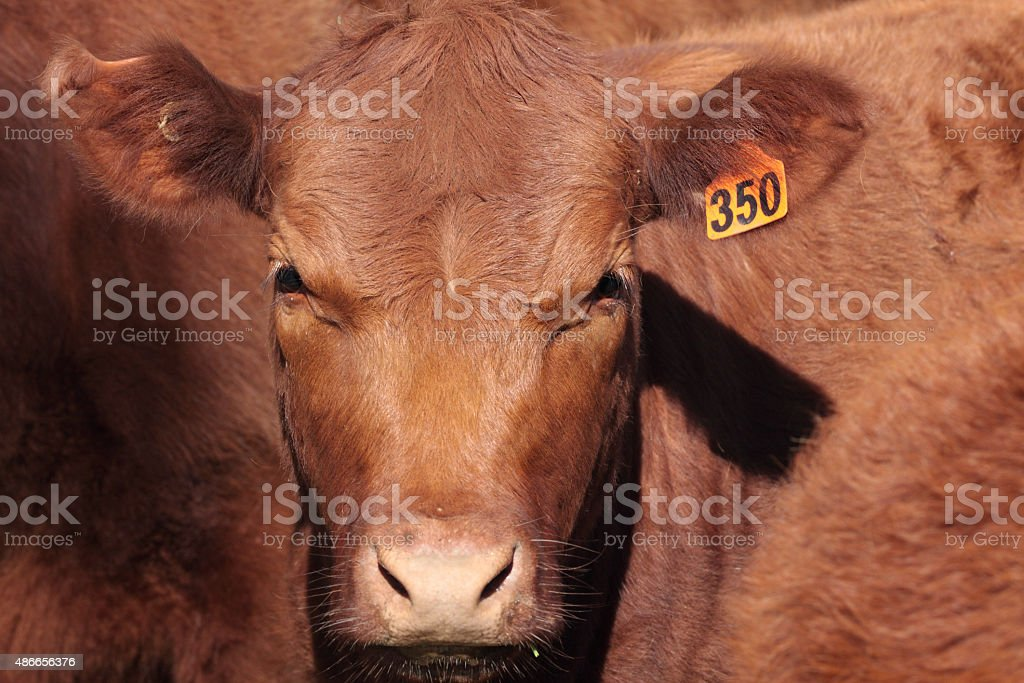 Shorthorn Cattle stock photo
