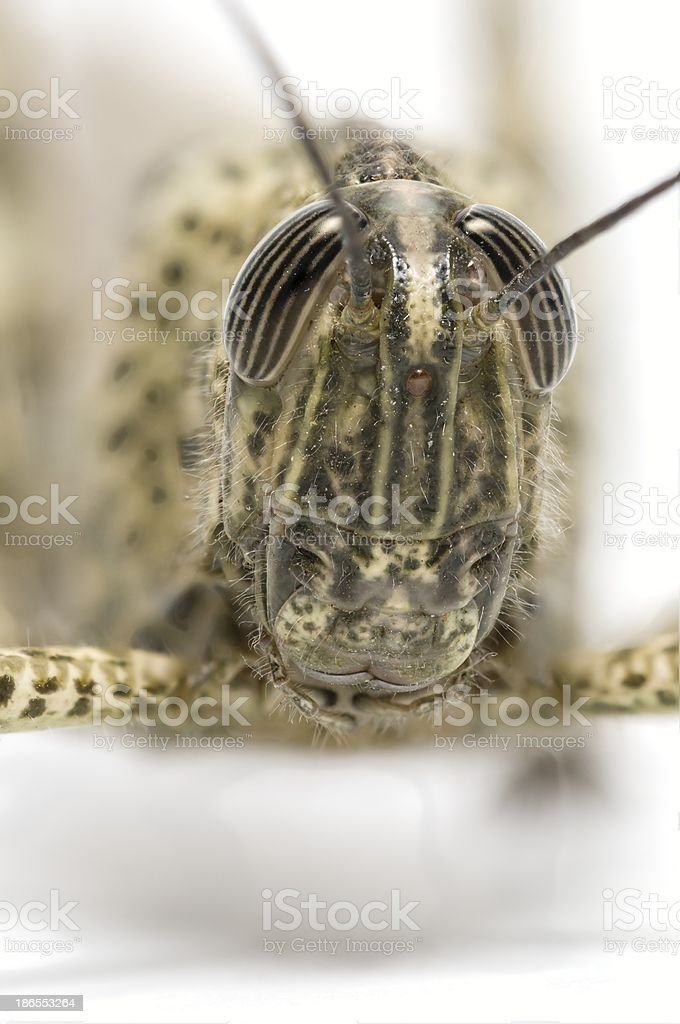 Short-horned grasshopper royalty-free stock photo