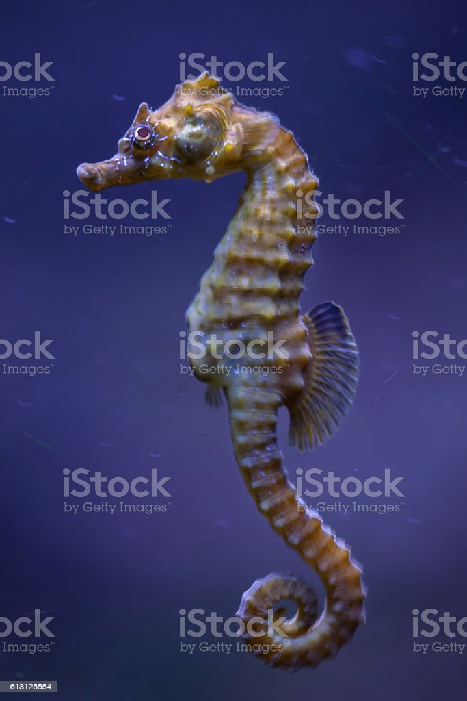 Short-snouted seahorse (Hippocampus hippocampus). stock photo