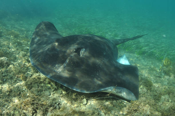 short-tail stingray or smooth stingray, Narooma, New South Wales, Australia