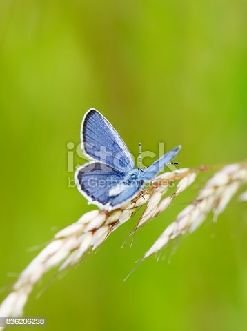The short-tailed blue or tailed Cupid (Cupido argiades) is a butterfly that forms part of the family Lycaenidae. It is found from Central Europe to Japan.