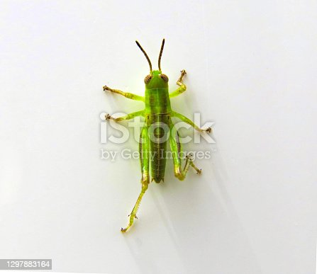 colorful young grasshopper on a white fence wall
