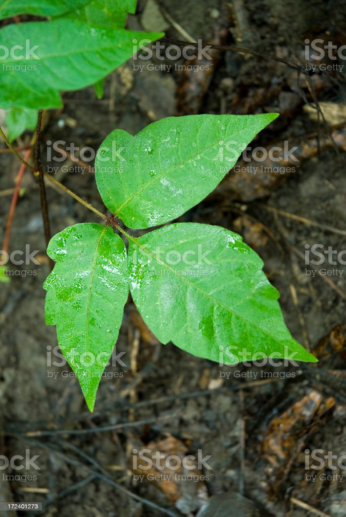 Shot from above of green poison ivy leaves on dirt royalty-free stock photo