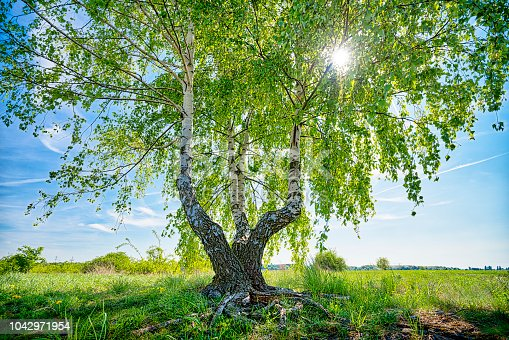 HDR shot of a birch tree with the sun behind